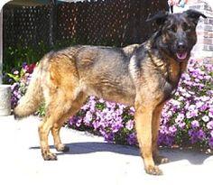 Lathrop, CA - German Shepherd Dog Mix. Meet Rufus, a dog for adoption. http://www.adoptapet.com/pet/10402564-lathrop-california-german-shepherd-dog-mix