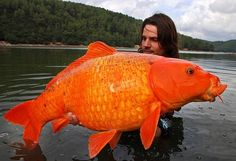 Angler Raphael Biagini bagged this massive 30lb goldfish, (orange koi carp) while on a fishing trip in France. It took him 10 minutes to reel it in. Fellow anglers told him they had spent 6 years trying to snare the legendary 'giant goldfish'. After a quick prize shot, he kindly returned the fish to the water.