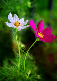 : Cosmos --(Plant seeds in late Spring for summer flowers) Cosmos Plant, Cosmos Flowers, Flowers Nature, Wild Flowers, Amazing Flowers, Colorful Flowers, Beautiful Flowers, Beautiful Beautiful, Flower Pictures