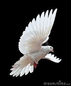 A free flying white dove isolated on a black by Irochka, via Dreamstime