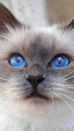 I seriously love ragdoll kittens. best images ideas about ragdoll kitten - most affectionate cat breeds - Tap the link now to see all of our cool cat collections! Ragdoll Kittens, Cute Cats And Kittens, Siamese Cats, Kittens Cutest, Cool Cats, Persian Kittens, Burmese Kittens, Tabby Cats, Bengal Cats