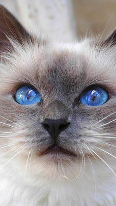 cat_face_color_furry_blue_eyes_cute