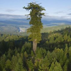 A #redwood known as Hyperion is the tallest tree in the world, at a height of 115.85 meters (380.1 feet). Credit: Michael Nichols / NatGeo... #America #mexico #canada #USA #Austria #Belgium #Denmark #Finland #France #Germany #Hungary #Luxembourg #Iceland #Ireland #Italy #Norway #Poland #Portugal #Monaco #Netherlands #Russia #Spain #Sweden #Switzeland #UK #London #Bosnia #Herzegovina #Bulgaria #Croatia #Cyprus #CzechRepublic #Estonia #Georgia #Greece #Kazakhstan #Latvia #India #Japan… Giant Tree, Big Tree, Sequoia Sempervirens, Redwood Forest, Unique Trees, California National Parks, Tree Forest, Borneo, Kyoto