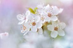 Wild Cherry Blossom by Jacky Parker - Photo 103928341 - 500px