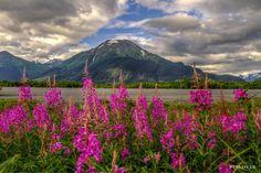 Fireweed in Alaska on a beautiful day