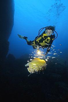 Scuba diver observing a Mediterranean Jelly or Fried Egg Jellyfish (Cotylorhiza tuberculata), Corsica, France, Mediterranean, Europe