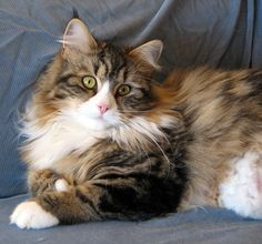 Our gorgeous girl Ana (now retired) ~ Mystic Melody Siberians