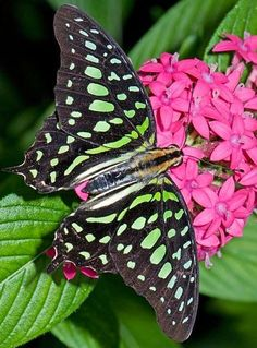 Tailed Jay butterfly - (Graphium agamemnon) Black tropical butterfly that belongs to the swallowtail family. Butterfly Kisses, Butterfly Flowers, Butterfly Wings, Flying Flowers, Butterflies Flying, Beautiful Bugs, Beautiful Butterflies, Butterfly Pictures, Chenille