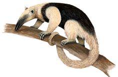 Oso hormiguero Animal Anatomy, Animal Posters, Weird Creatures, Fauna, Mammals, Elephant, Drawings, Illustration, Brazil