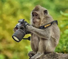 """Note by the Paws-itive Pets: Our mommy Catherine loves the idea of getting wildlife to """"take photos"""" with a camera. The photographer did a great photo here of this monkey with a Nikon camera (Nikon is the brand Catherine uses). Animals And Pets, Baby Animals, Funny Animals, Cute Animals, Wild Animals, Funny Pets, Comedy Wildlife Photography, Animal Photography, Better Photography"""