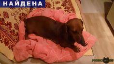 Найдена собака такса сука 3-5 лет г.Пушкино http://poiskzoo.ru/board/read31140.html  POISKZOO.RU/31140 Найдена такса ..г. в поселке Лесной, унмая ласковая, знает поводок, рядом был найден ошейник.   РЕПОСТ! @POISKZOO2 #POISKZOO.RU #Найдена #собака #Найдена_собака #НайденаСобака #Пушкино