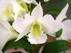 Dendrobium Summer Night Dream (Den. Summer Night Dream) 'Sachi'  http://hybridorchid.la.coocan.jp/Dendrobium/Dendrobium%20Summer%20Night%20Dream/Dendrobium%20Summer%20Night%20Dream.htm