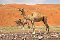 Arabian, or dromedary, camel and calf (Camelus dromedarius).