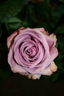 """""""Coolwater"""" Rose"""
