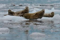 Harbor seals rest on the floating ice near the glaciers in Prince William Sound.