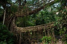 Umshiang bridge - Living Bridges  are made of tree roots in North Eastern India; Photograph by Alex Treadway