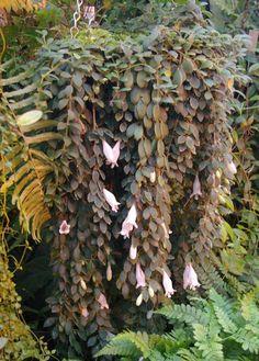 Aeschynanthus chiritoides plant