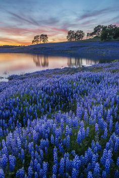 field of blue flowers near pond