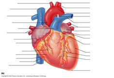 Unlabeled diagram of external view of heart auto electrical wiring cross sectional view of the human heart unlabeled the heart rh pinterest com lad of heart posterior view labeled heart model posterior view ccuart Images