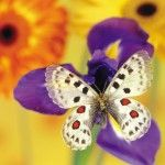 Real Butterflies In Nature Images & Pictures Butterfly Live, Butterfly Pictures, White Butterfly, Butterfly Flowers, Butterfly Wings, Butterfly Cookies, Purple Flowers Wallpaper, Butterfly Wallpaper, Unique Wallpaper