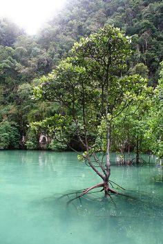 Mangroves in Koh Hong, Thailand.