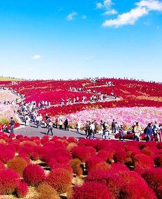 Kochia Hill, Hitachinaka City, Japan: