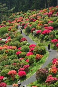 Azalea Festival, Shiofune Kannon-JI Temple, Tokyo, Japan