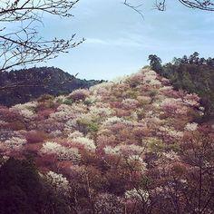 【f.l.o.w.e.r_k】さんのInstagramをピンしています。 《満開じゃなかったけど 桜見るとやっぱり落ち着く( ´ー`) .. #吉野千本桜#またリベンジしたい #桜#cherryblossoms#バス旅行》