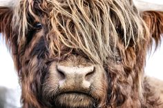 Foto Schotse Hooglander door ENRICO