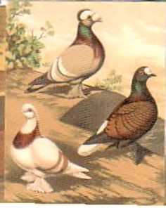 Pigeons No.18 Priest, Swiss & Fireback Limited edition Trading Card
