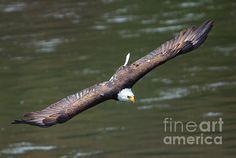 Bald Eagle Photograph - Looking For A Meal by Mike Dawson Exotic Birds, Colorful Birds, Bird Barn, Barn Owls, Parakeet Bird, Eagle Wings, Owl Pet, Flamingo Bird, Birds Of Prey