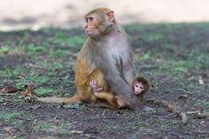 Rhesus Macaque – Macaca mulatta