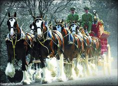 Magnificent Budweiser Clydesdales - Draft Horse Team photo.