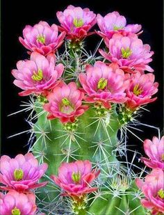 New 50 pcs christmas cactus flowers Echinopsis tubiflora cacti gardens seeds exotic succulent plant balcony plantas para jardim Cactus E Suculentas, Cactus Planta, Cactus Cactus, Exotic Flowers, Amazing Flowers, Beautiful Flowers, Simply Beautiful, Pink Flowers, Desert Flowers