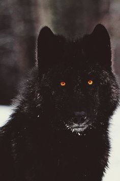 #Beautiful Black Wolf with orange eyes.