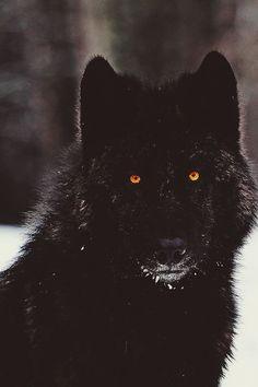 #Beautiful Black Wolf with orange eyes.