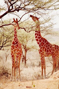 Giraffes in Kenya, via Alix of thecherryblossomgirl. Dig this color palette