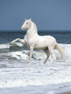 Andalusian in the surf.although this guy is pretty big for an andalusian.anywho, still MAGNIFICENT. All The Pretty Horses, Beautiful Horses, Animals Beautiful, Beautiful Gorgeous, Absolutely Gorgeous, Majestic Horse, Majestic Animals, Horse Pictures, Animal Pictures