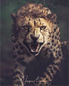 "Someone is coming a little too close to this (beautiful ❤️) cheetah 😮 Beautiful shot from 📸…"" Jungle Animals, Nature Animals, Animals And Pets, Cute Animals, Animals Photos, Cheetah Face, Cheetah Animal, Beautiful Cats, Animals Beautiful"