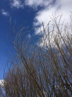 French Willow will add hight and dimension to any design. What Is Coming, Cut Flowers, Beautiful Flowers, February, Clouds, French, Outdoor, Design, Outdoors