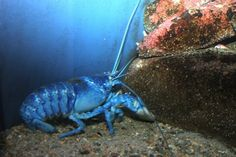 Blue lobsters occur in the wild at an estimated rate of 1 in 2 to 5 million.