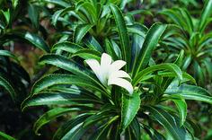 Tiare Apetahi of Tahiti. Only found on Raiatea.