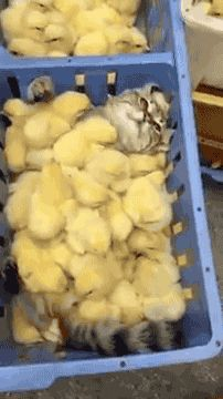 This cat gets all the chicks.