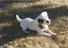 Sadie Rose ♡♡♡ #goswickshortyjacks.com #puppies #jackrussellterriers