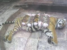 I just love this! <3  The veterinarians felt that the loss of her litter had caused the tigress to fall into a depression. The doctors decided that if the tigress wants to be a mother they would make her a surrogate so she is a mother to baby pigs covered in tiger skins    A real mother loves you for you... not what you look like