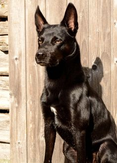 Australian kelpie - possible mix for Liberty Australian Dog Breeds, Australian Bulldog, Australian Shepherd, Blue Merle, Koolie Dog, Pet Dogs, Dogs And Puppies, Best Dog Photos, Husky