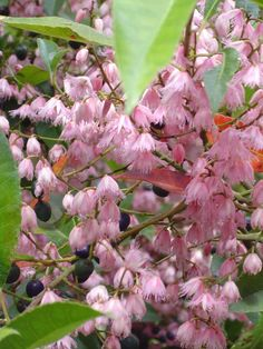 Blueberry Ash (Elaeocarpus reticulatus) In NSW rainforests it can attain a height of 30m.
