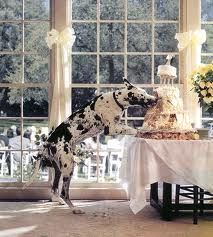 great dane eating a wedding cake - from Gentle Giants Rescue