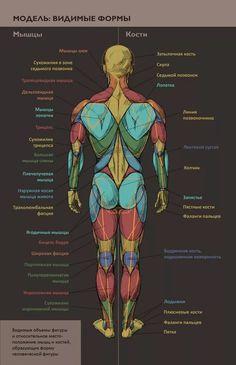 анатомия человека мышцы для художников: 10 тыс изображений найдено в Яндекс.Картинках Human Poses Reference, Figure Drawing Reference, Body Reference, Anatomy Reference, Human Anatomy Drawing, Anatomy Study, Body Sketches, Anatomy Sketches, Muscle Anatomy