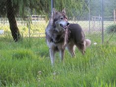 Excepting Deposits For 2015 Wolf Hybrid Cubs. in Salem, Oregon - Hoobly Classifieds